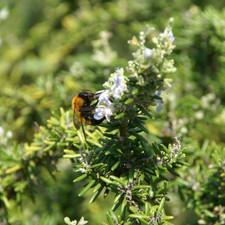 Rosemarybug