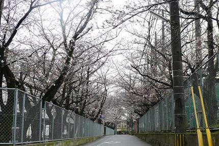 Sakuratunnel1203201