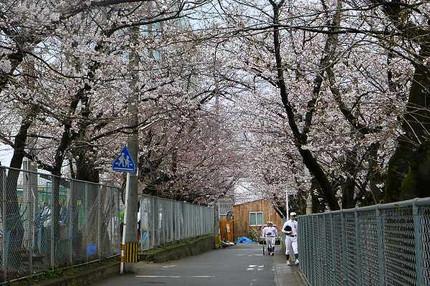 Sakuratunnel1203202