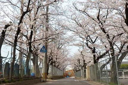 Sakuratunnel1203232
