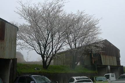 Meotozakura1304203