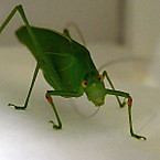 Longhorned_grasshopper5