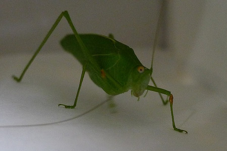 Longhorned_grasshopper6