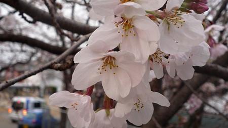 Sakura110402