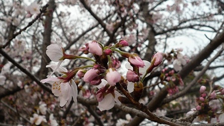 Sakura110402c