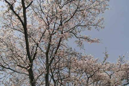 Sakura_kusu