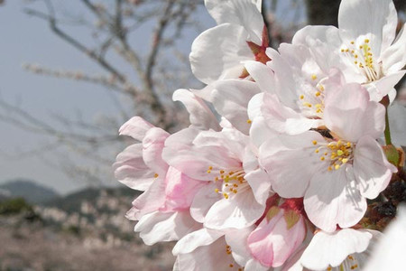 Sakura_saiki2