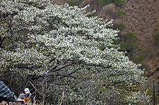 Hinoosakura2009