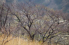 Hinoosakura2010