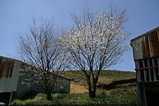 Moutanisakura2009