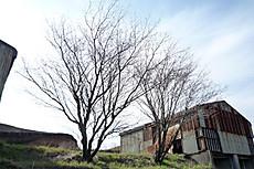 Moutanisakura2010
